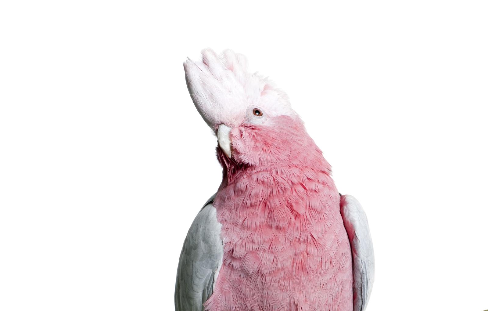 Rosa Kakadu