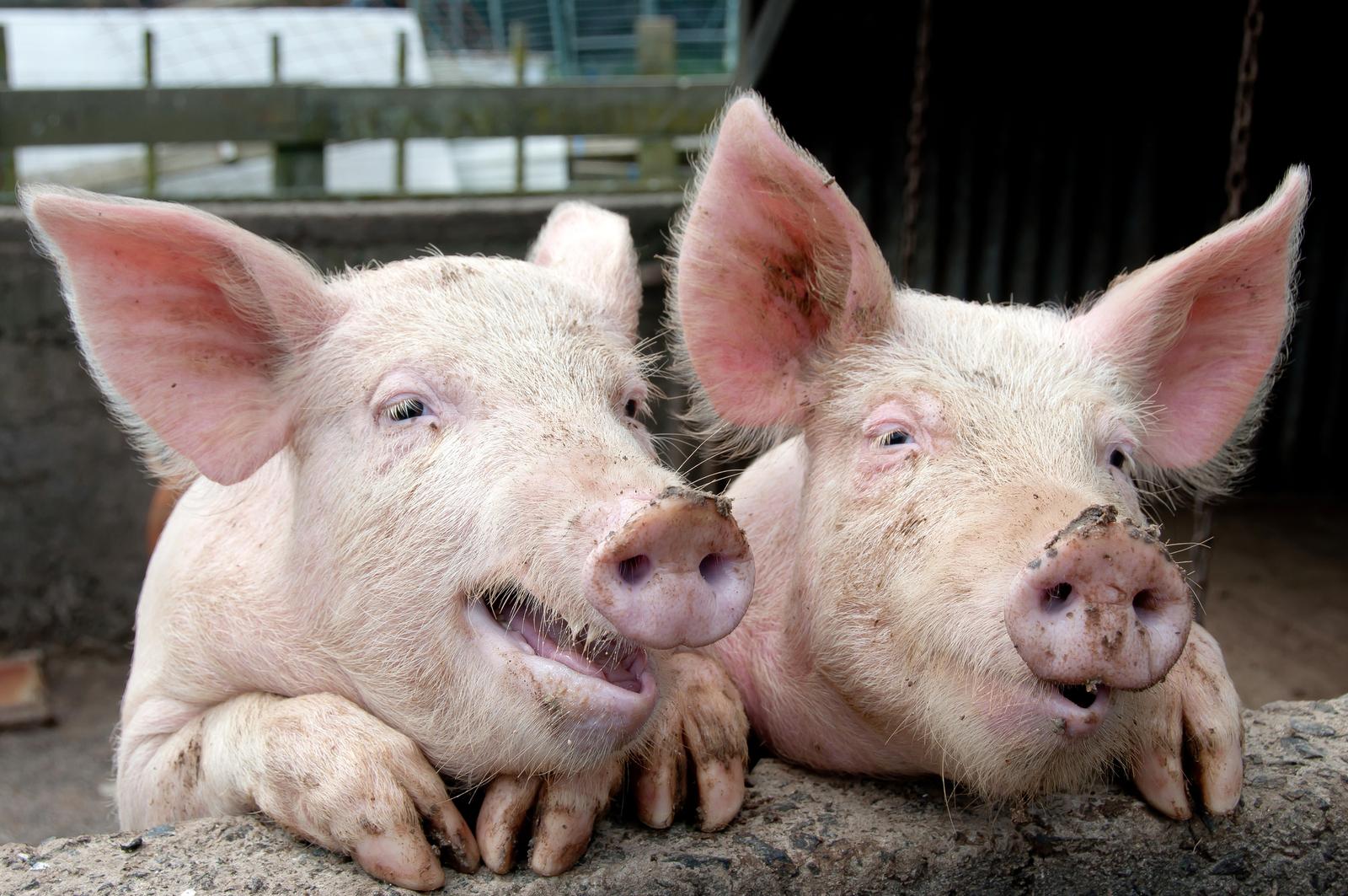 Virus China Schweinegrippe