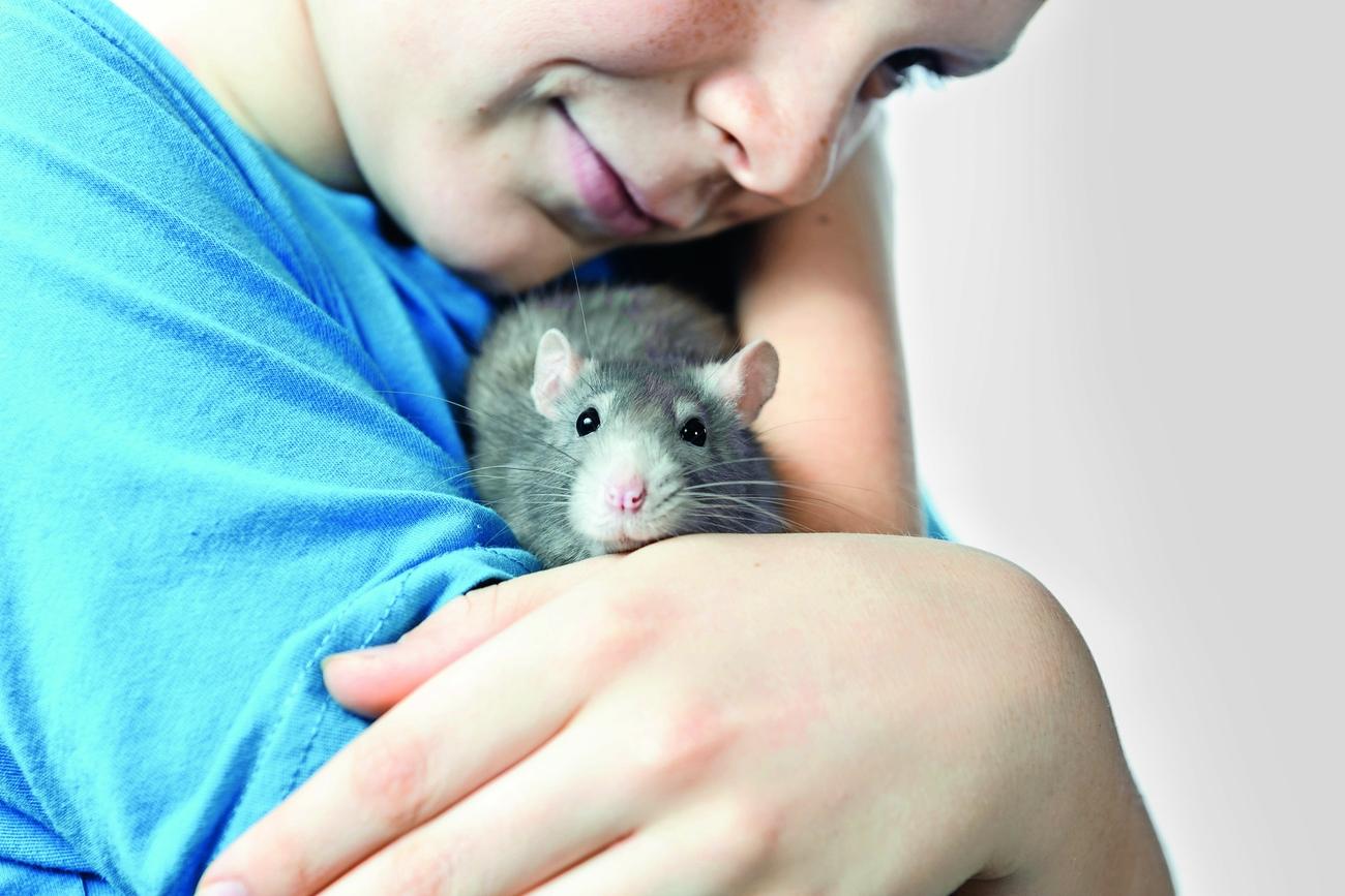 Rattenhalter aufgepasst: Nicht nur Mäuse übertragen Hantaviren